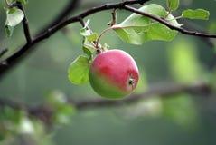 Der Zweig des Apfelbaums Stockfoto
