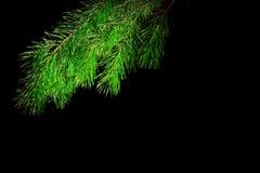 Der Zweig eines Weihnachtsbaums auf schwarzem Hintergrund Lizenzfreies Stockbild