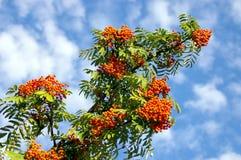 Der Zweig von ashberry Lizenzfreies Stockfoto