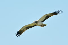 Der Zwergadler (Aquila-pennata) Lizenzfreies Stockbild