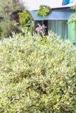 Derain krzaków Cornus biali ornamentacyjni albumy Fotografia Royalty Free