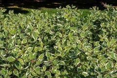 Derainen buske är vit Latinnamn av Cornus Det andra namnet av växten är svidinaen Ser till familjen av Arkivbild