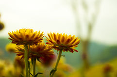 Yellow flower. In nature Stock Photography