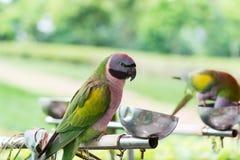 Derbyan长尾小鹦鹉 免版税图库摄影