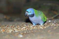 Derbyan parakeet Στοκ Φωτογραφίες