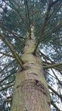Derbyshire Pine Royalty Free Stock Image