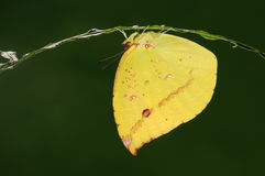 Dercas Нина /butterfly/male Стоковые Изображения RF