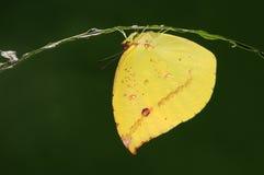 Dercas Nina /butterfly/male Imágenes de archivo libres de regalías