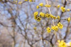 Dereń w lasu parka kwitnącej wiośnie zdjęcia royalty free