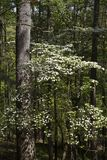 Dereń kwitnie w Oklahoma drewnach Zdjęcia Stock