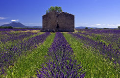 Derelict Barn in Lavender Field Stock Images