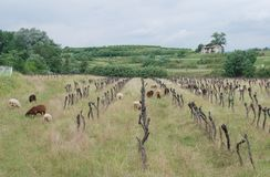 Derelict Grape Vines with Sheep Stock Photo
