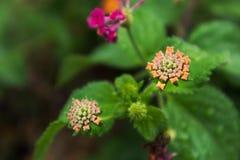 Derenia kwiat z woda deszczu kroplami Fotografia Stock