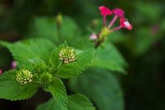Derenia kwiat z woda deszczu kroplami Obraz Stock