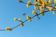 Dereniowa wiosna zapylająca pszczołami obrazy stock