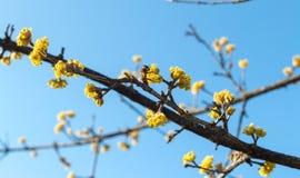 Dereniowa wiosna zapylająca pszczołami obraz royalty free