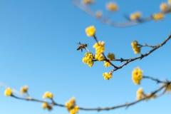 Dereniowa wiosna zapylająca pszczołami zdjęcie royalty free