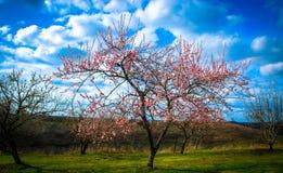 Dereniowego drzewa kwiaty w wiośnie z zieloną trawą i niebieskim niebem wypełniali z białymi chmurami i innymi drzewami w tle Obrazy Stock