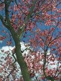 dereniowy drzewo Obraz Stock
