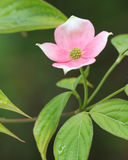 Dereniowy kwiat Fotografia Stock