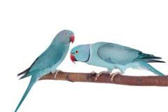 Deringed eller cirkel-hånglade parakiterna på vit arkivbild