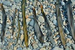 Deriva-mala hierba de sequía 6 Fotografía de archivo libre de regalías