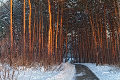 Derivas de la nieve en el bosque del invierno Foto de archivo