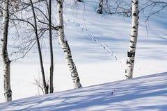 Derivas de la nieve resumidas después de nevada en un bosque natural del abedul con las sombras grandes de los árboles iluminados Fotografía de archivo libre de regalías