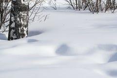 Derivas de la nieve resumidas después de nevada en un bosque natural del abedul con las sombras grandes de los árboles iluminados Imágenes de archivo libres de regalías