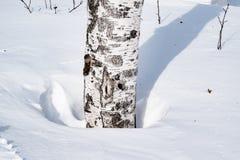 Derivas de la nieve resumidas después de nevada en un bosque natural del abedul con las sombras grandes de los árboles iluminados Fotografía de archivo