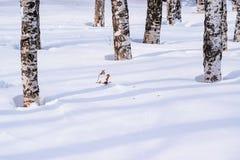 Derivas de la nieve resumidas después de nevada en un bosque natural del abedul con las sombras grandes de los árboles iluminados Fotos de archivo