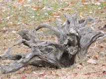 Derive la forma inusual grande de madera dejada en el encintado para cogen  Imagenes de archivo