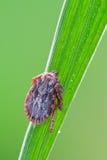 Dermacentor marginatus Lizenzfreies Stockbild