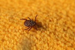 Dermacentor Reticulatus Tick Royalty Free Stock Photos