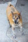 Dermatitis for animal - Sick Dog Stock Image