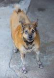 Dermatitis for animal - Sick Dog Stock Photography