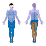 Dermatome. Diagram of areas of the skin supplied by a single spinal nerve, eps10 Royalty Free Stock Photos