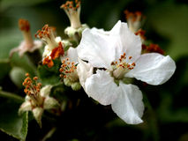 Dernière fleur d'appletree´s Photo libre de droits