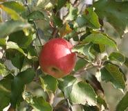 Dernière pomme sur l'arbre Photographie stock