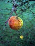 Derni?re pomme sur un arbre en novembre images libres de droits