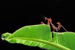 Deroplatys Dessicata,螳螂,眼镜蛇螳螂 免版税库存照片