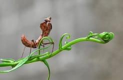 Deroplatys Dessicata, Bidsprinkhanen, Cobrabidsprinkhanen Stock Afbeelding