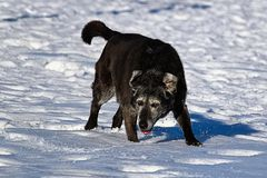A derpy senior dog running and enjoying the snow Royalty Free Stock Photo