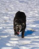 A derpy senior dog running and enjoying the snow Royalty Free Stock Image