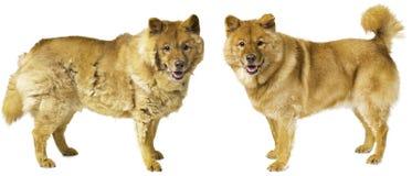 Derramamento do cão - cão preparado fotos de stock royalty free
