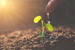 Derramando uma planta nova da mão Plantas de jardinagem e molhando foto de stock