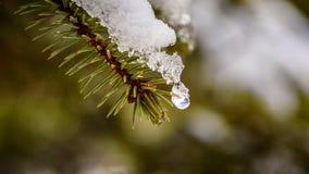 Derretimento da neve do pinho fotos de stock