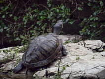 Derrière court d'une jeune tortue se tient sur la roche à côté de g Image libre de droits
