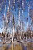 Derrita el cielo del tronco del árbol forestal del abedul del resorte del hielo de la nieve Foto de archivo libre de regalías