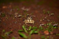 Des étoiles vivantes dans ces deux royaumes s'appellent les grenouilles photographie stock